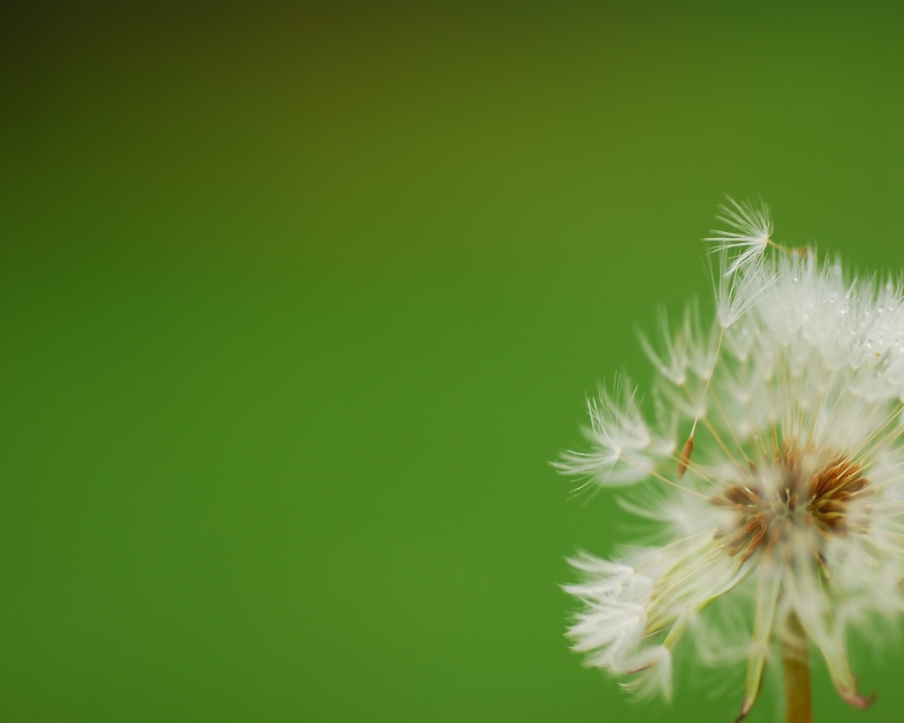 dandelion_blown_by_the_wind